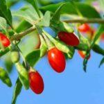 Dobroczynne jagody goji