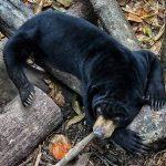 Ważna zbiórka pieniędzy na pomoc dla niedźwiedzi hodowanych dla żółci